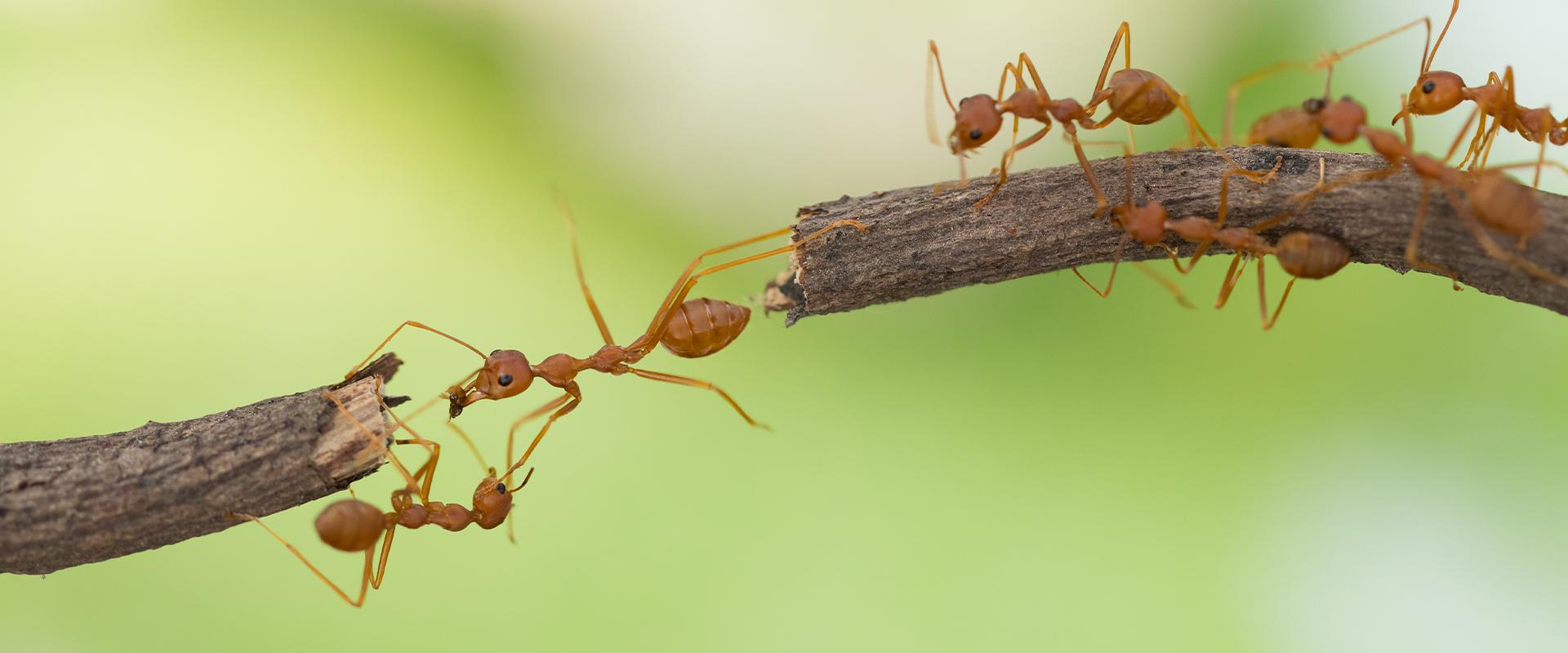 fire ant on branch