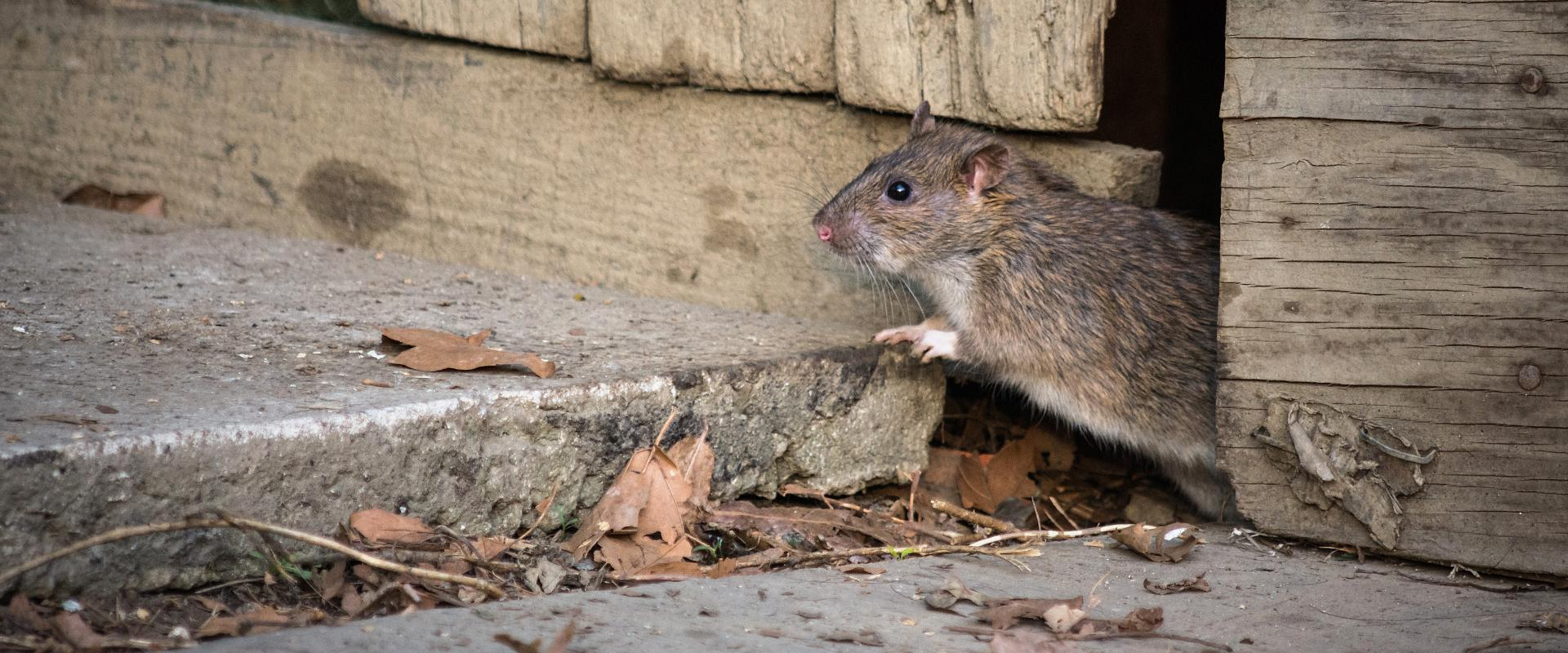 rodent on wood