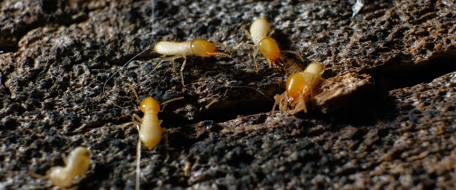 termite on dirt