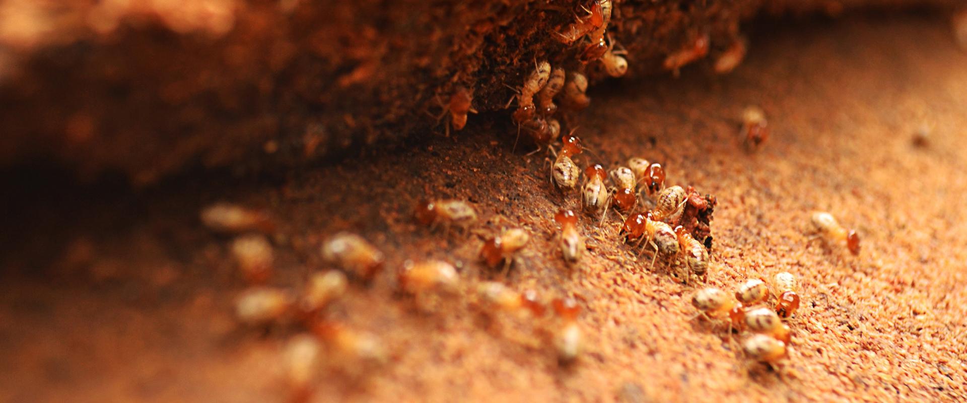 termites on dirt
