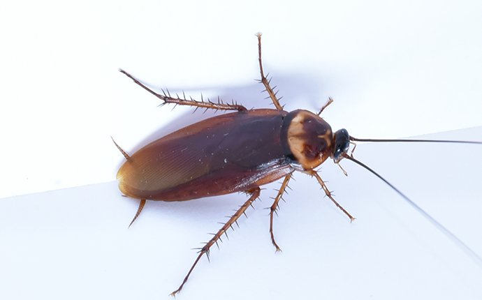 an american cockroach