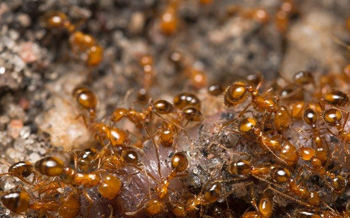close up on fire ants
