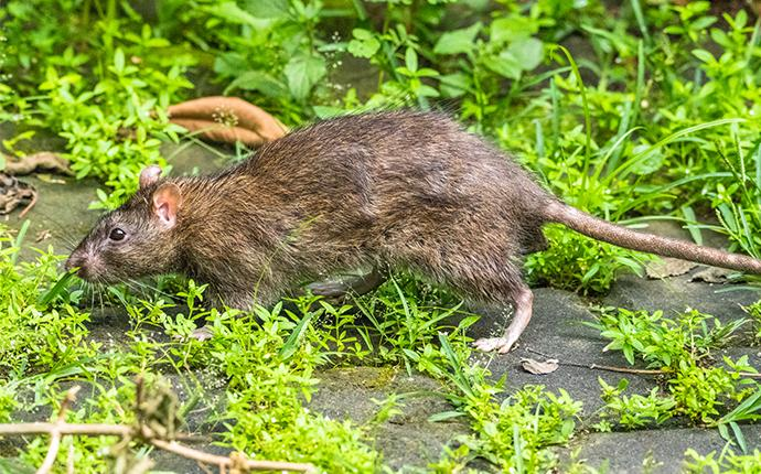 rodent in grass