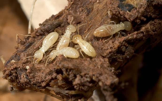 a few subterranean termites on wood