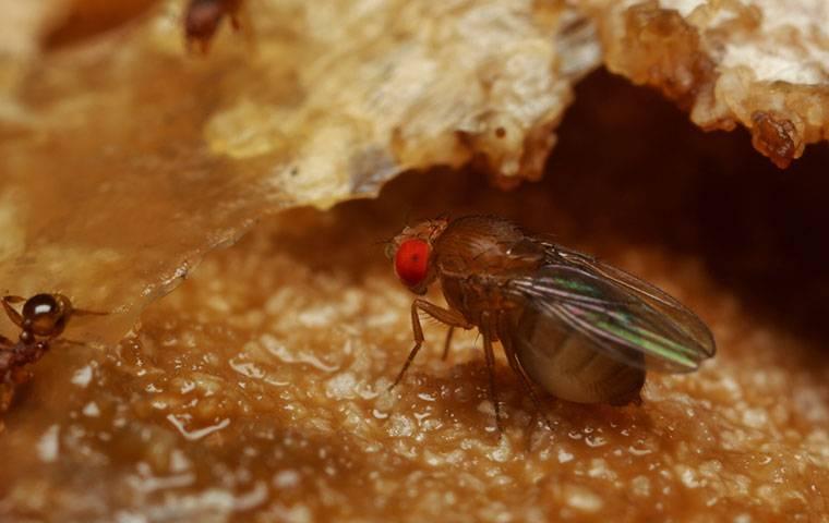 fruit fly eating fruit