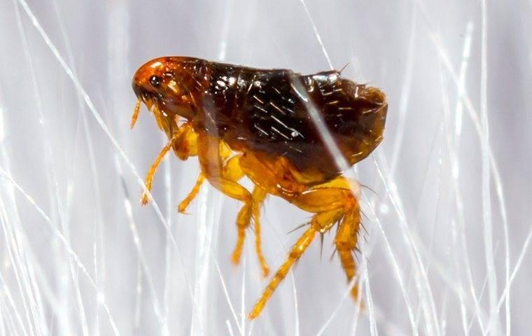 a flea in the pet hair in gold hill north carolina