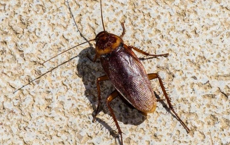 an american roach on a kitchen floor