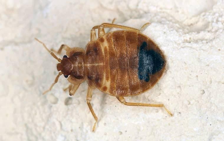 a bed bug on a bed sheet