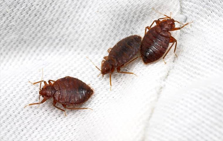 three bed bugs crawling on a bed sheet