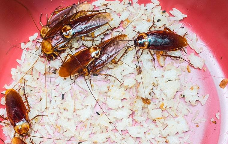 american cockroaches in a a bucket of cracker crumbs