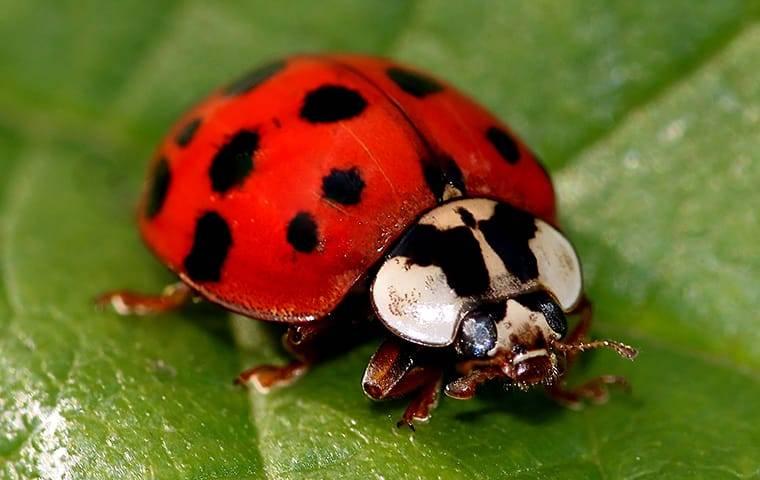 asian lady beetle on a leaf