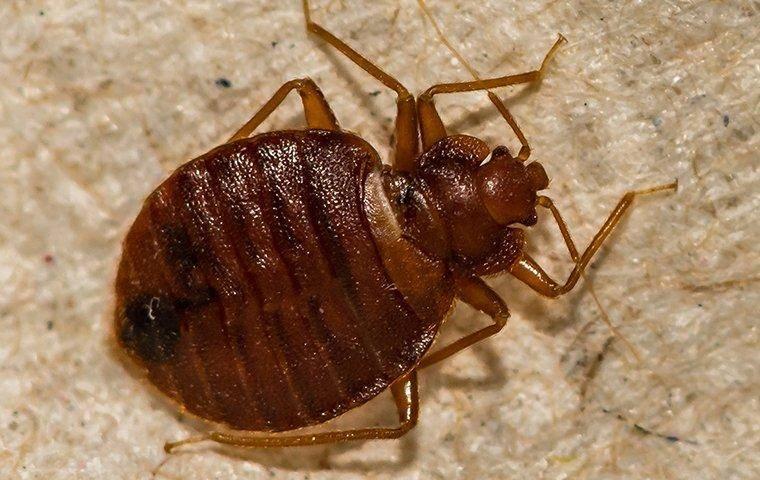 bed bug crawling on baseboard