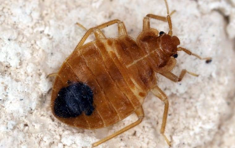 bed bug crawling on mattress