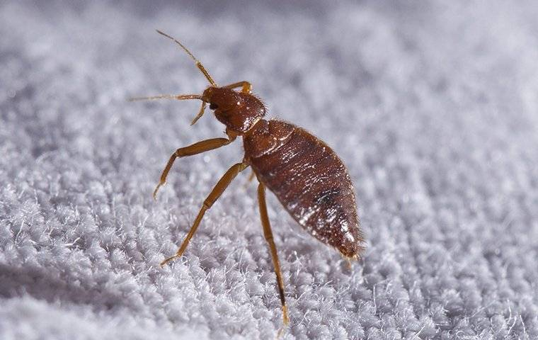 a bed bug crawling on white sheets