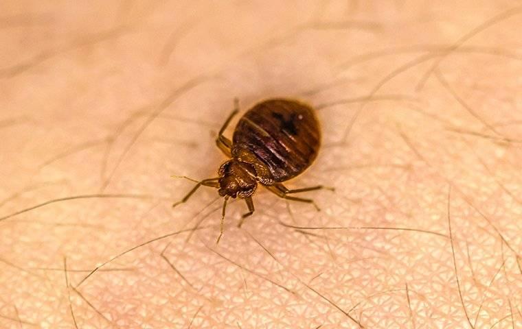 a bed bug crawling on human skin