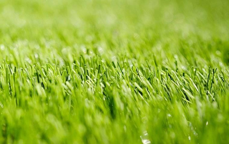 up close image of nice green grass