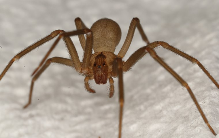 a brown recluse spider in a house