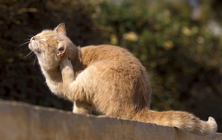 cat scratching at fleas
