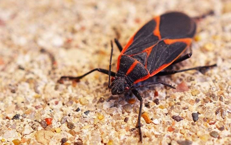 boxelder bug on sand