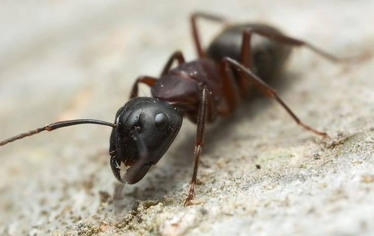 carpenter ant on home foundation