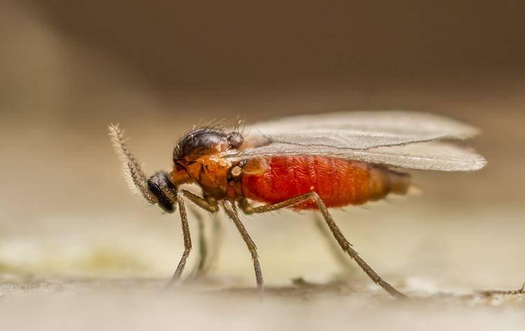 close up of a gnat