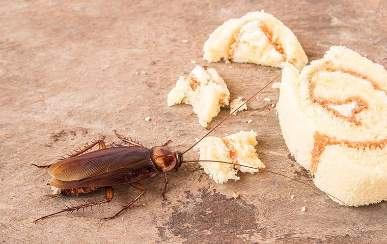 cockroach eating food
