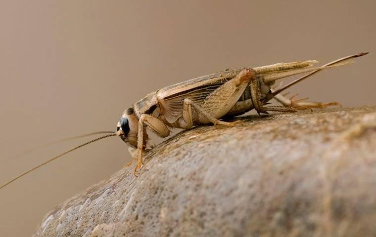 cricket crawling on rock