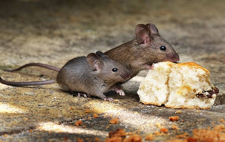 two mice nibbling on a biscuit on a kitchen floor