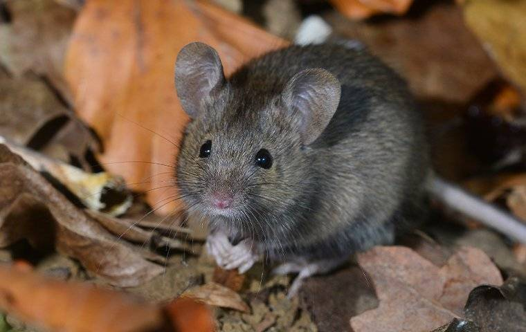 house mouse in leaves outside