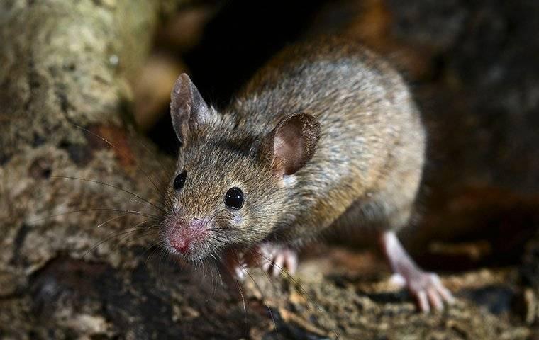 house mouse outside home