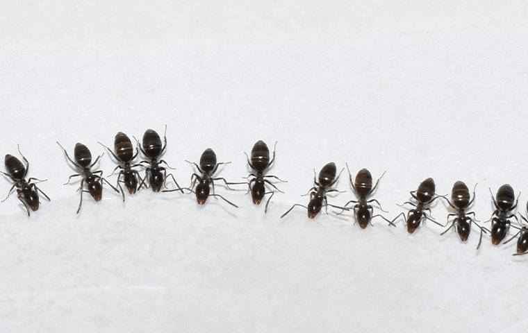 a colony of odorouse house ants in a kitchen
