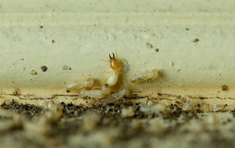 termites on wood trim