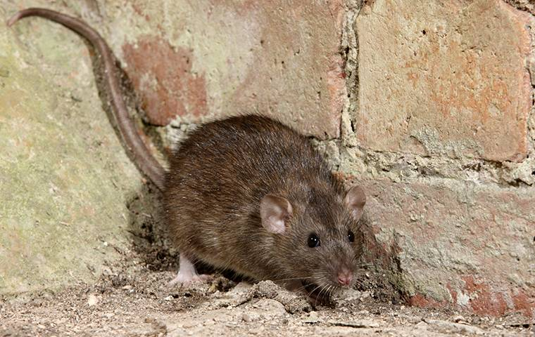 a brown rat in a basement