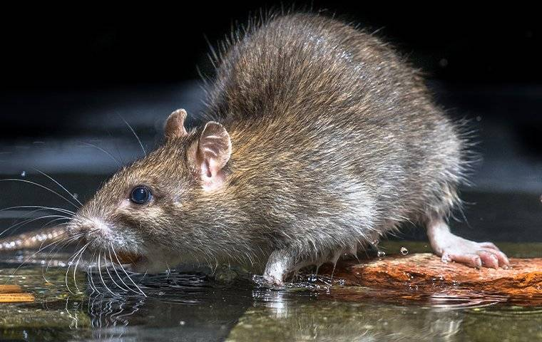a brown rat drinking water off the floor