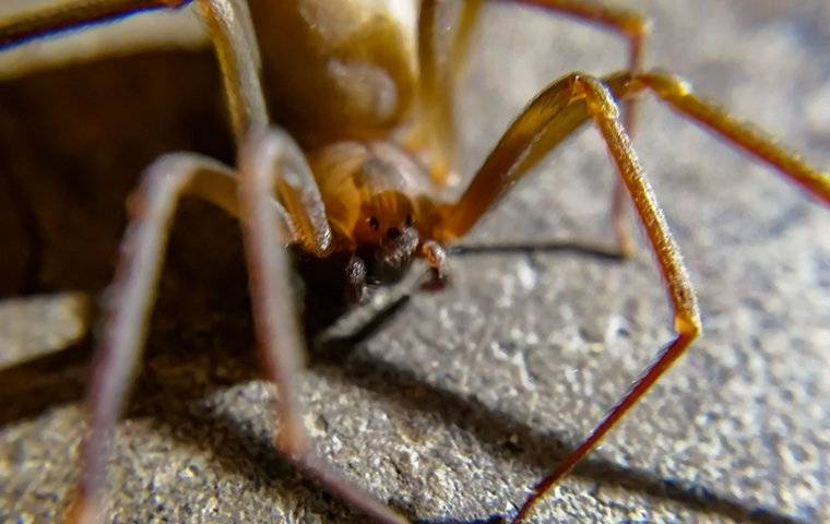 a brown recluse spider in a basement
