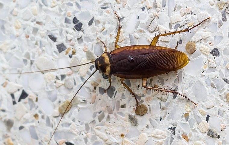 a cockroach on a pfafftown kitchen countertop