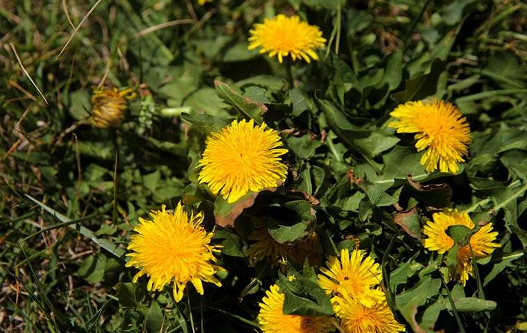 a lawn with dandelion weeds on it