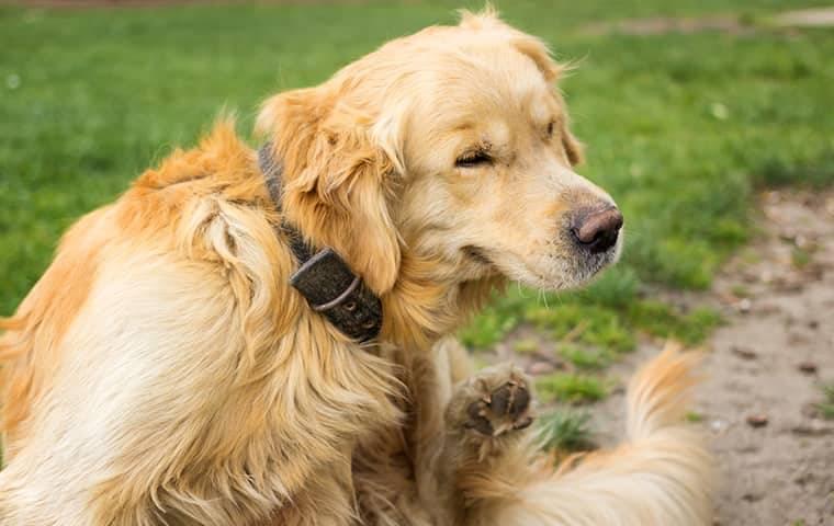 a dog scratching at fleas