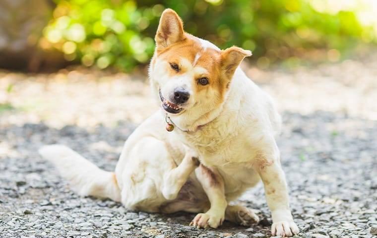 flea biting a dog