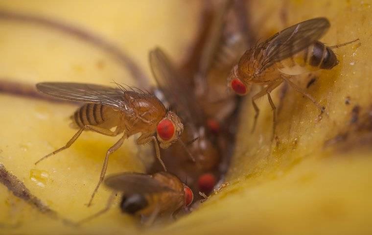 fruit flies eating a banana