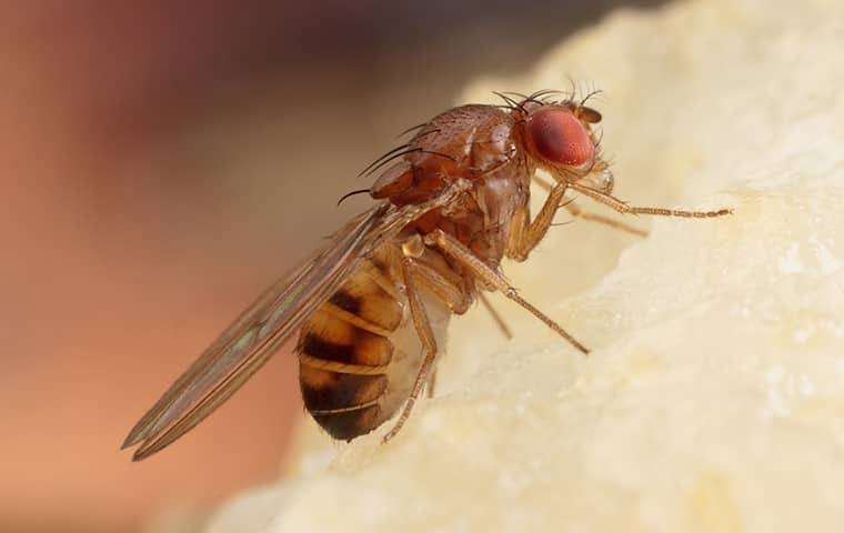 a fruit fly on a piece of fruit