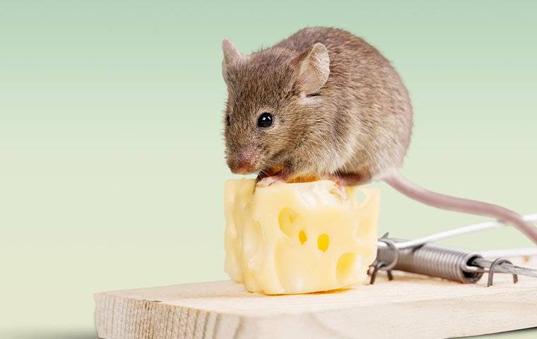 rodent sitting on a mouse trap