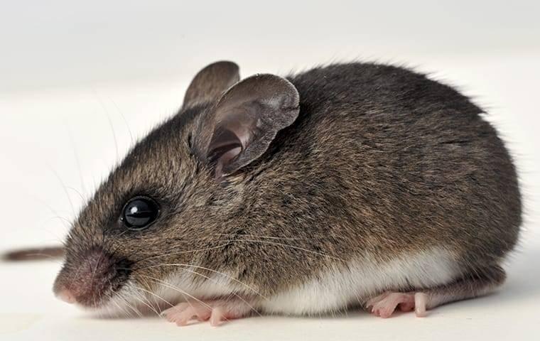 deer mouse up close