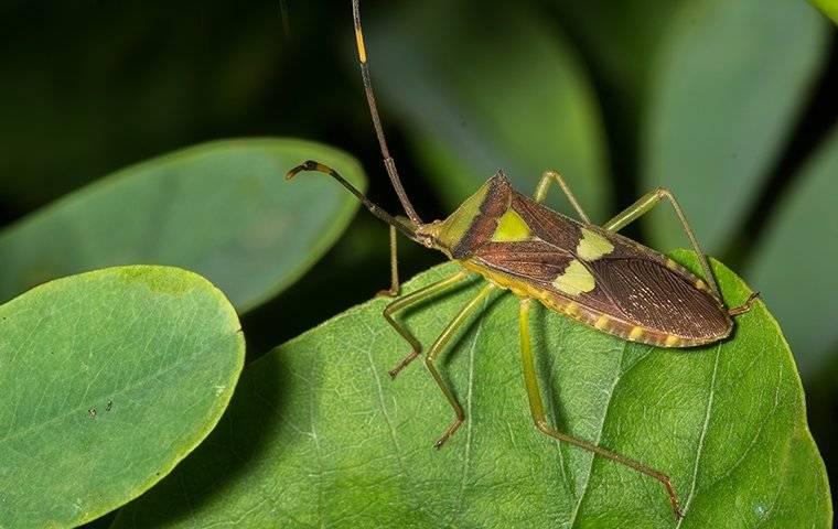 leaf footed bugs