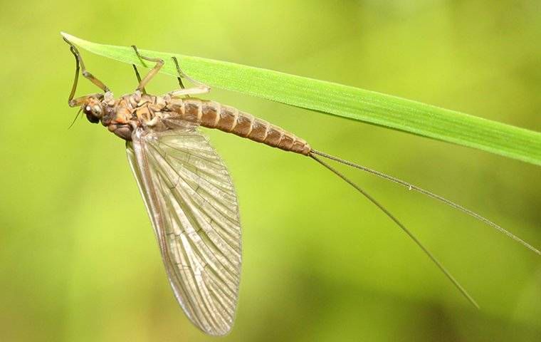 mayfly on a leaf