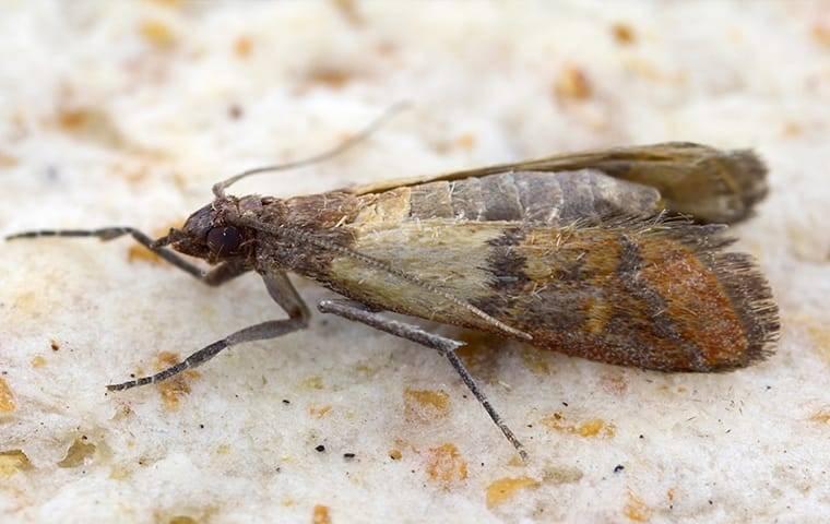 meal moth up close