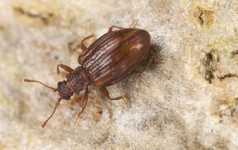 plaster beetle up close