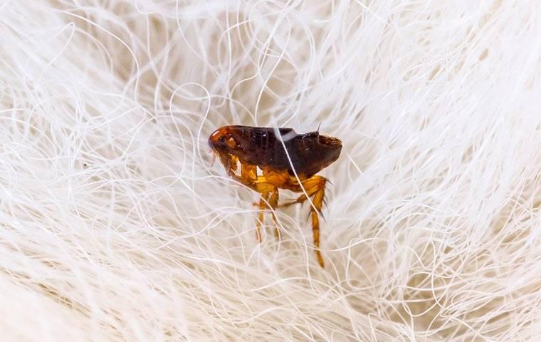flea on white hair