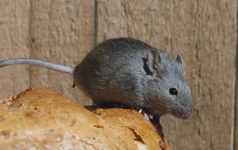 a mouse crawling on bread
