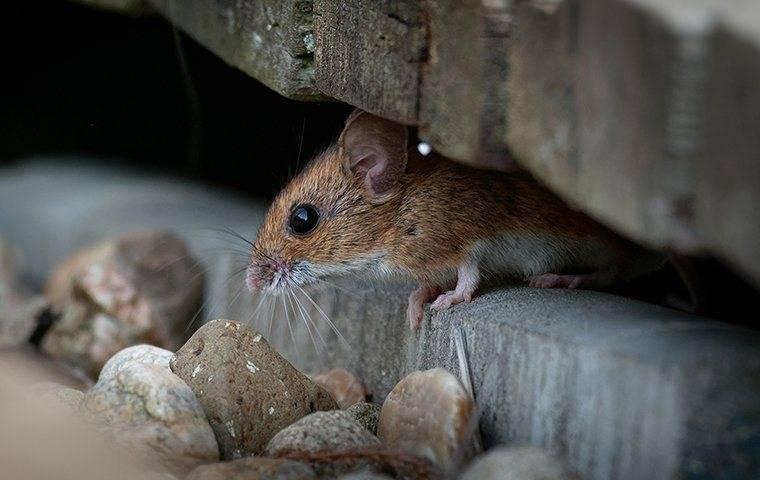a house mouse hiding in a conover home